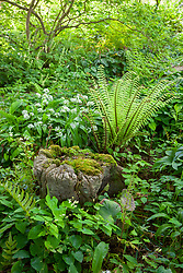 Dryopteris wallichiana AGM, Wallich's wood fern growing in the woodland area at Glebe Cottage with a mossy tree stump and Allium ursinum (Wild garlic, Ramsons).