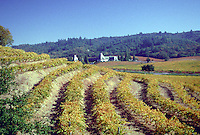 Rows of grapes at a Vineyard in Sonoma Valley, California
