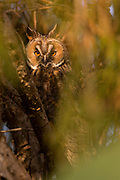 Long-eared Owl (Asio otus) in a tree. This owl inhabits woodland near open country throughout the northern hemisphere. It is strictly nocturnal and feeds mainly on small mammals such as mice and voles Photographed in Israel in April