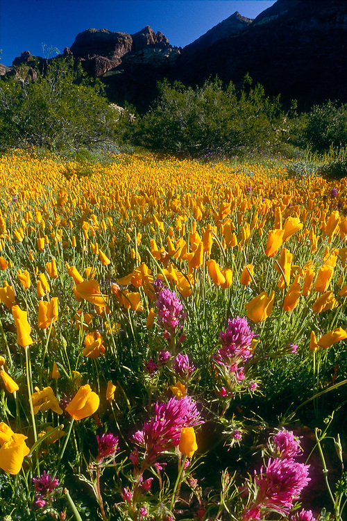Poppies and owl's clover, morning dew, Organ Pipe Cactus National Park, Arizona, USA