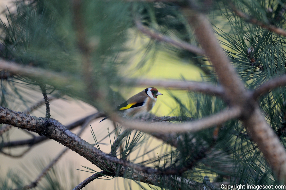 Goldfinch<br /> *ADD TO CART FOR LICENSING OPTIONS*