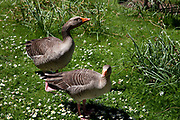Two Greylag Geese in St James's Park, London. The park is very popular with waterfowl.