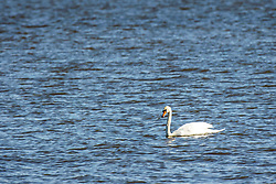 Mute Swan (Cygnus Olor) floating on blue water in late winter at Emiquon National Wildlife Refuge near Lewistown in Fulton Co Illinois