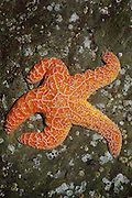 Gotta Run ...taxi. An orange Starfish strikes a running pose on a rock on the Oregon Coast