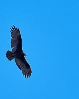 Turkey Vulture (Cathartes aura). Black Point Wildlife Drive, Merritt Island Wildlife Refuge. Merritt Island, Brevard County, Florida. Image taken with a Nikon D3x camera and 300 mm f/2.8 VR lens.