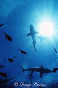 blacktip reef shark, Carcharhinus melanopterus, Moorea, French Polynesia ( South Pacific Ocean )