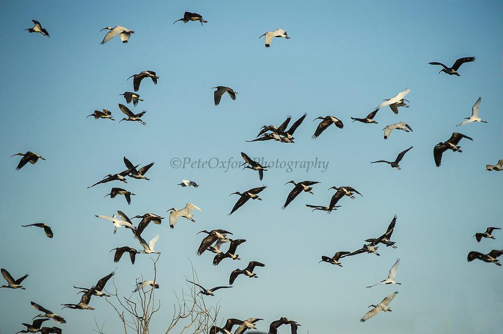 White Ibis (Eudocimus albus) adult & immature<br /> Little St Simon's Island, Barrier Islands, Georgia<br /> USA<br /> HABITAT & RANGE: <br /> SE USA to northern South America