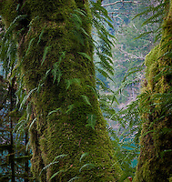 Spaghnum moss and Licorice Ferns (Polypodium glycyrrhiza) growing on a Big Leaf Maple (Acer macrophyllum)in a temperate rain forest in Olympic National Park, Washington state, USA.