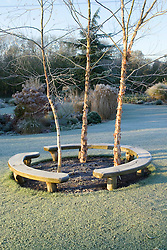 Curved bench seats around three birch trees - Betula nigra 'Heritage' on a frosty winter's morning. Design: John Massey, Ashwood Nurseries