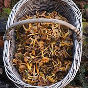 mushrooms, Haute Livradois Forez, Auvergne
