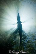 silhouette of Morelet's crocodile, Central American crocodile, Mexican crocodile, or Belize crocodile, Crocodylus moreletii,  resting at surface of cenote (freshwater spring) near Tulum, Yucatan Peninsula, Mexico