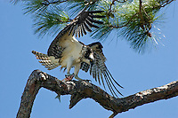 An osprey with a fresh mullet photographed while landing in a pine tree in St. Marks National Wildlife Refuge.