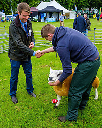 Biggar, South Lanarkshire, Scotland 23 July 2016<br /> <br /> A farmer win a champion Texel sheep in the show ring.<br /> <br /> (c) Andrew Wilson | Edinburgh Elite media
