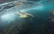 Galápagos green turtle swimming underwater nearby Isabela Island, Galapagos | Havskilpadde som svømmer under vann.