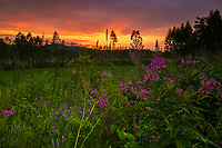A tangle of flowers in front of a boreal sunset. Yichun City, Heilongjiang Province, China.