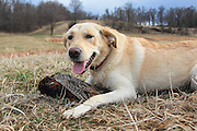 Chukar Hunting at Marsh Lake preserve in Victoria, MN Rescued Lab Mix Gets Her First Taste of Hunting Cecil Bell and his rescued Lab mix Bric