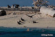 tiger shark, Galeocerdo cuvier, patrols beach where fledgling black-footed albatross chicks, Phoebastria nigripes, are preparing to take their first flight; tracks from nesting sea turtles are visible on the beach, East Island, French Frigate Shoals, Papahanaumokuakea National Monument, Northwest Hawaiian Islands ( Central Pacific Ocean )