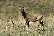 Swayne's Hartebeest, Alceluphus buselaphus swaynei, Senkele Wildlife Sanctuary, Ethiopia, Endemic, Endangered, female mother with young