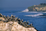 Pelicans gathered on coastal rock, Natural Bridges State Park, Santa Cruz, CALIFORNIA