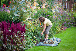 Lifting and dividing iris. Digging up the existing clump and laying on a sheet of tarpaulin.