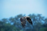 White-bellied Sea Eagle (Haliaeetus leucogaster) juvenile plumage in flight.  Subic Bay, Luzon Island, Philippines