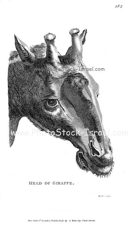 Portrait of a Giraffe close up of the head from General zoology, or, Systematic natural history Vol II Part 2 Mammalia, by Shaw, George, 1751-1813; Stephens, James Francis, 1792-1853; Heath, Charles, 1785-1848, engraver; Griffith, Mrs., engraver; Chappelow. Copperplate Printed in London in 1801 by G. Kearsley