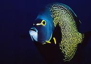 French Angelfish (Pomacanthus paru) Bonaire