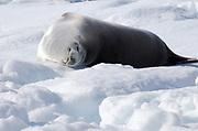 A Crabeater Seal (Lobodon carcinophaga or carcinophagus)  sleeps on an ice floe in Hope Bay. Hope Bay,  Trinity Peninsula,  Antarctic Peninsula, Antarctica. 02Mar16