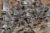 Mountain finches and Brandt's mountain finches in flight, China, Sichuan Province, Garze Prefecture, Serxu County.