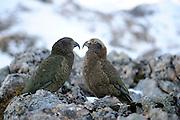 Kea (Nestor notabilis) Arthur's Pass, New Zealand | Kea oder Bergpapagei (Nestor notabilis);  Zu sehen ist rechts ein Jungtier, links ein erwachsenes Tier. Arthur's Pass, Neuseeländische Alpen, Neuseeland.