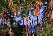 Coconut grove, Keawaiki Bay, Island of Hawaii<br />