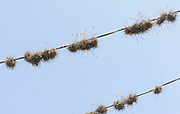 AIr plants grow on electricity cables above the streets of Antigua.  Antigua Guatemala, Republic of Guatemala. 02Mar14
