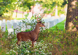 A Buck Attempting To Camouflage Himself In The Bushes at Jefferson Barracks National Cemetery.