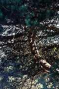 close up of a pine tree with twisting twigs