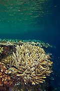 The diversity of coral species on tropical reefs in papua New Guinea is enormous