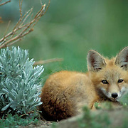 Red Fox, (Vulpus fulva) Portrait of pup curled up resting near den. Spring.