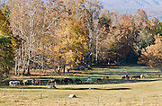 """Horses graze on a ranch preserved in Cades Cove, an isolated valley located in the East Tennessee section of Great Smoky Mountains National Park, USA. Cades Cove was once home to numerous settlers. Today Cades Cove is the most popular destination for visitors to the park, attracting over two million visitors a year, due to its well preserved homesteads, scenic mountain views, and abundant display of wildlife. Cades Cove is a type of valley known as a """"limestone window,"""" created by erosion that removed the older Precambrian sandstone, exposing the younger Paleozoic limestone beneath. The weathering of the limestone produced deep, fertile soil, making Cades Cove attractive to early farmers. More weather-resistant formations, such as the Cades sandstone which comprises Rich Mountain to the north and the Elkmont and Thunderhead sandstones which comprise the Smokies crest to the south have surrounded the cove, leaving it relatively isolated within the Great Smokies."""
