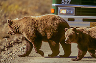 Grizzly bear sow with cub crosses park road in front of a stopped tour bus, Denali National Park, Alaska, © David A. Ponton