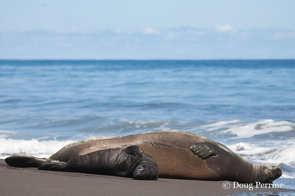 Hawaiian monk seal, Monachus schauinslandi ( Critically Endangered species, endemic to Hawaiian Islands  ), resting on beach with two week old pup, Waimanu Valley, Hawaii Island ( Pacific Ocean )