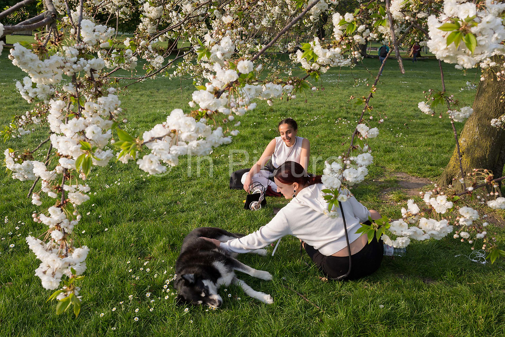 As the Easter Bank Holiday weekend begins and the UKs Coronavirus death toll rises to 7,978 with 65,077 cases testing positive by the end of the UK governments second week of lockdown, two young women talk under spring blossom while walking their dog in warm sunshine in Ruskin Park, a south London green space, on 9th April, in London, England.