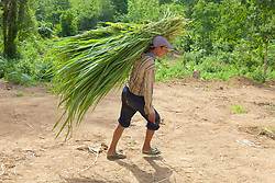 Bringing More Grasses For The Elephants