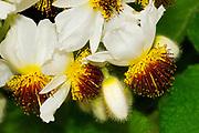 Sparrmannia flowers (Sparrmannia africana) native of South Africa