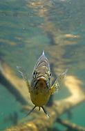 Bluegill Sunfish with Black Spot Parasite<br /> <br /> ENGBRETSON UNDERWATER PHOTO