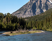 Moose along Going to the Sun Road, Glacier National Park, West Glacier, Wyoming