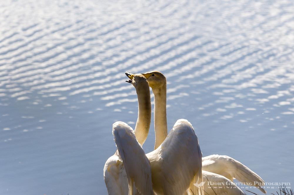 Sweden, Lake Hornborga. Whooper Swan.