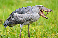 A shoebill (Balaeniceps rex) on the bank of the river Nile with a fish catch, Murchison Falls National Park, Uganda