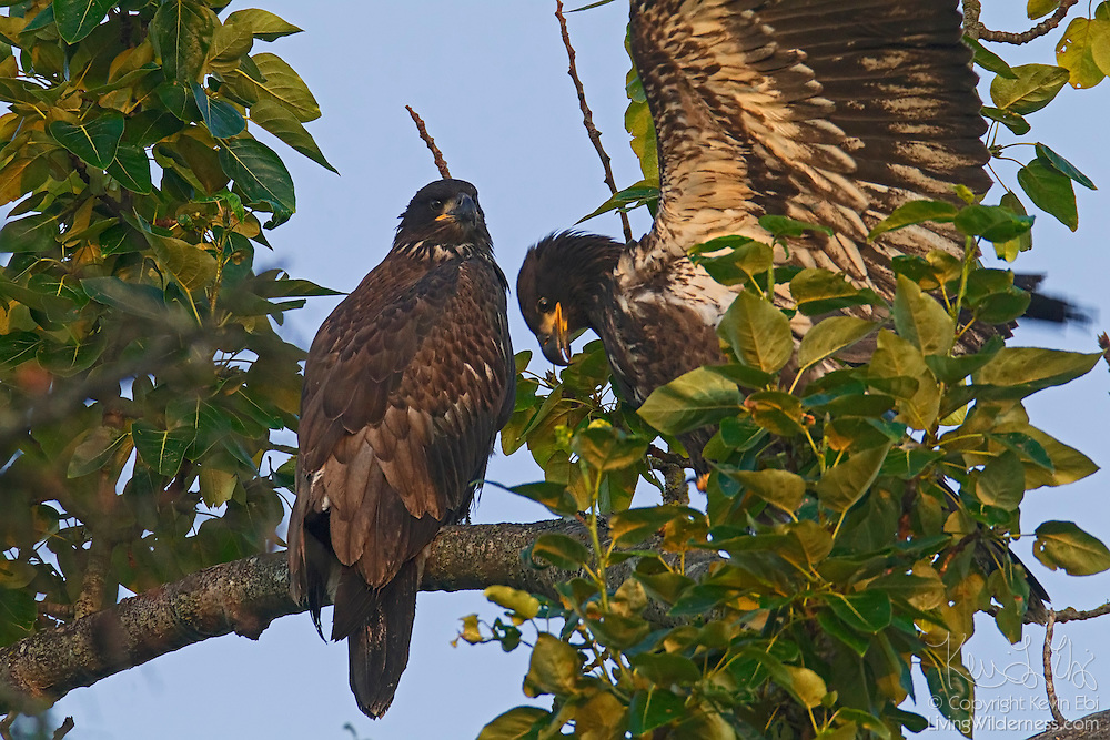 A young bald eagle (Haliaeetus leucocephalus), just over two months old, lands next to its sibling on a branch a few hundred yards from their nest. At the time of this image, the bald eagle fledglings had been flying for less than a week.