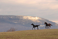 Wallkill, N.Y. - Two standardbred horses play in a field at Blue Chip Farms on Feb. 6, 2006.