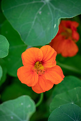 Orange Nasturtium - Tropaeolum majus -  to be identified/found