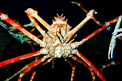 Japanese spider crab, or giant spider crab ( c ), Macrocheira kaempferi, the largest crab in the world, grows up to 3m in leg span, endemic to Japan, found in deep sea